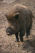 Wild boar with muddy snout trotting along Stock Photos