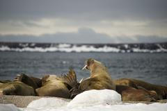 Walruses with giant tusks at Arctic haul-out - stock photo