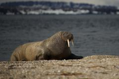 Walrus with half-closed eyes on shingle beach Stock Photos