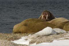 Walrus showing tusks on snowy Arctic beach - stock photo