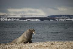 Walrus leaning on flippers on Arctic beach Stock Photos