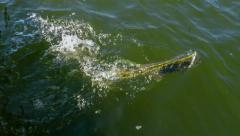 Northern Pike making a run for it Stock Footage