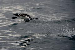 Guillemot taking off in spray of water Stock Photos