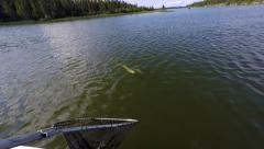 Northern Pike brought up with weeds Stock Footage