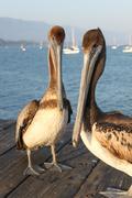 California Pelicans Stock Photos