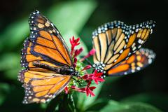Monarch Danaus Plexippus Stock Photos