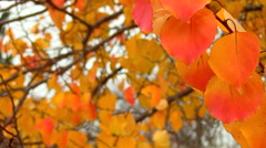 Colorful autumn leaves Stock Footage