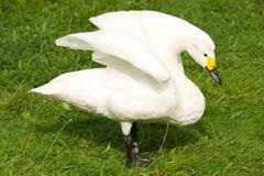Whooper swan with yellow beak stretching wings Stock Photos