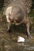 Close-up of Asian short-clawed otter shaking itself - stock photo