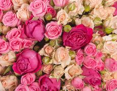 Rose bush, Ranunculus asiaticus as a background - stock photo