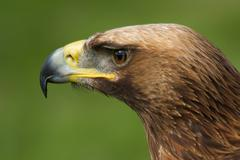 Close-up of golden eagle head looking left Stock Photos