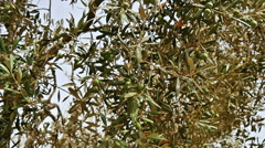 Olive tree in Spain Stock Footage