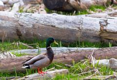 Duck in nature - stock photo