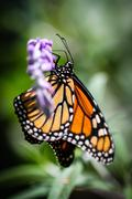 Stock Photo of Monarch Danaus Plexippus