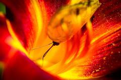 Cloudless Sulphur Phoebis Sennae Butterfly - stock photo