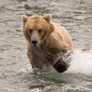 Bear splashing through river with paw raised - stock photo