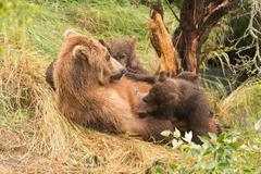 Brown bear nursing four cubs under tree - stock photo