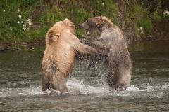 Brown bears fighting in spray of water Stock Photos