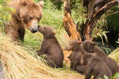 Four bear cubs greet mother beside tree - stock photo