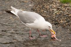 Seagull pecking at salmon chunk in shallows Stock Photos
