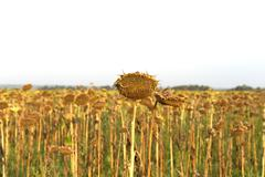 Lost crop of sunflowers. - stock photo