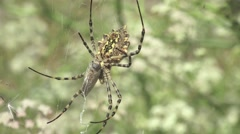 Spider Argiope lobata insect macro in web sitting, 4k Stock Footage