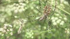Stock Video Footage of Spider Argiope lobata Mantis religiosa insect macro in web sitting, 4k