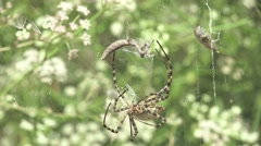 Spider Argiope lobata Mantis religiosa insect macro in web sitting, 4k Stock Footage