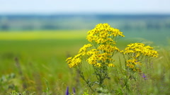 Yellow chamomile (Anthemis tinctoria) Stock Footage