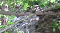 Belted kingfisher sitting on branch Stock Footage