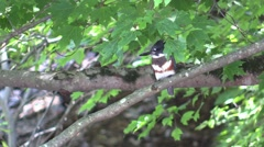 Belted kingfisher sitting on branch 2 Stock Footage