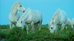 France Camargue horse white male rider wetlands - stock footage