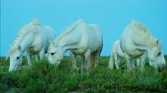 Camargue horses Mediterranean marshland travel - stock footage