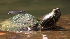 Painted turtle with damselfly on back nature animal Stock Footage