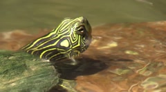 Painted turtle swims from rock to rock in river wildlife nature animal Stock Footage
