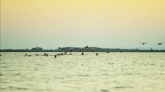 flamingo bird flying sunset water France Camargue - stock footage