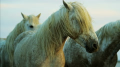 France Camargue horse sunrise Stallion Gelding outdoors travel Stock Footage