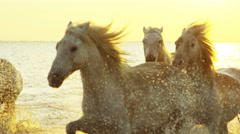 Camargue animal horses France wildlife Stallion Gelding - stock footage