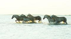 Animal horses white livestock female rider cowboy sea - stock footage