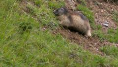 Alpine marmot eating on the ground Stock Footage