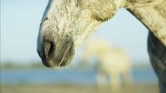 France Camargue animal horses wild freedom Stallion Gelding - stock footage