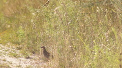 The corncrake on the road Stock Footage
