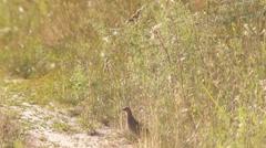 Meadow,  partridge Stock Footage