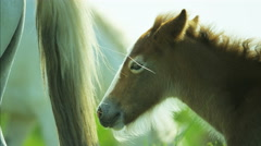 Camargue horse foal baby young wild livestock travel - stock footage