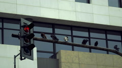 4K pigeons in the city on traffic light pole,corporate building background Stock Footage
