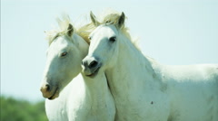 France Camargue animal horse wildlife Stallion Gelding travel - stock footage