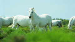 France Camargue animal horses wild freedom Stallion Gelding - stock footage