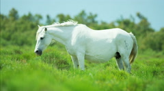 France Camargue animal horses wild freedom white livestock - stock footage