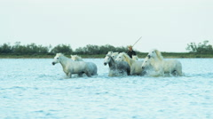 Stock Video Footage of France Camargue coastline horses water running travel