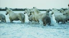 Camargue animal horse France water rider running cowboy - stock footage